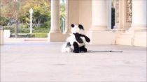 Dog-Dresses-up-As-Panda-for-Halloween