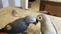 Einstein-the-Parrot-falls-in-love-with-toy-parrot